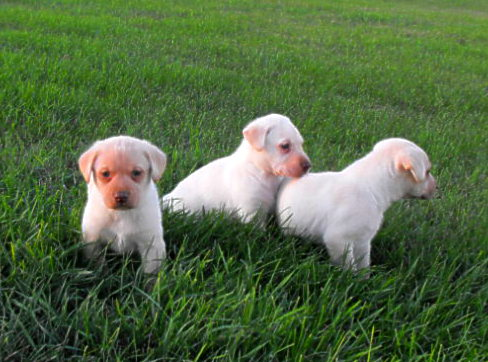 Dog Boarding Minot, ND - Pointing Lab Pups Haugen Ranch Kennels Butte, ND