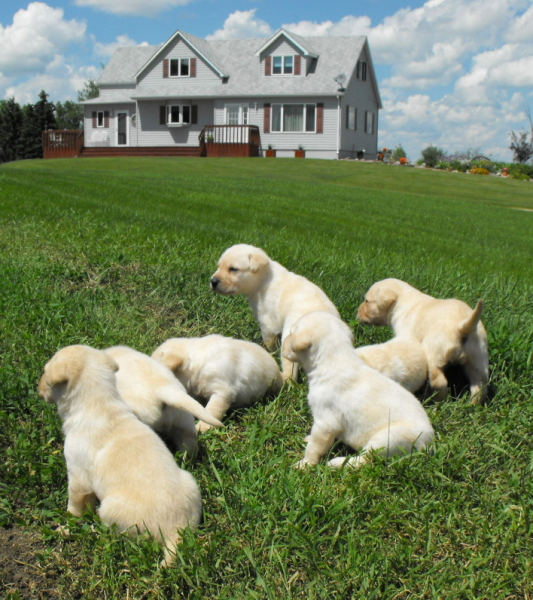 Haugen Ranch Kennels Dog Boarding Minot, ND Pointing Labs