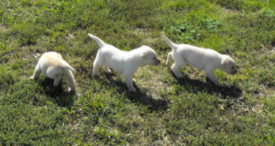 Dog Kennels Minot Pointing Lab Pups Haugen Ranch Kennels, Butte, ND